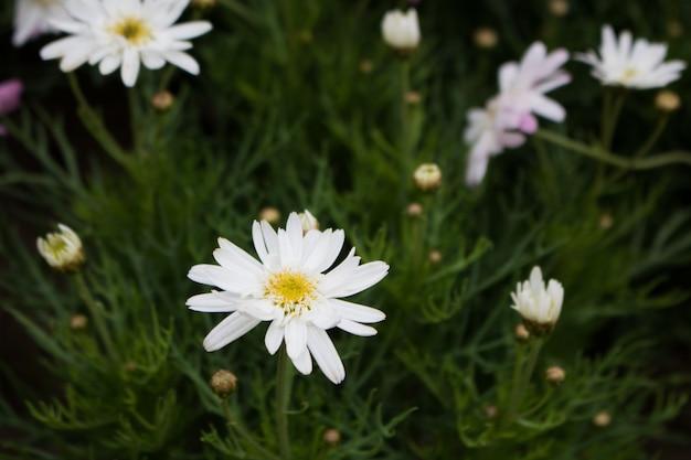 Flores blancas de la aguja española del primer en fondo verde Foto Premium