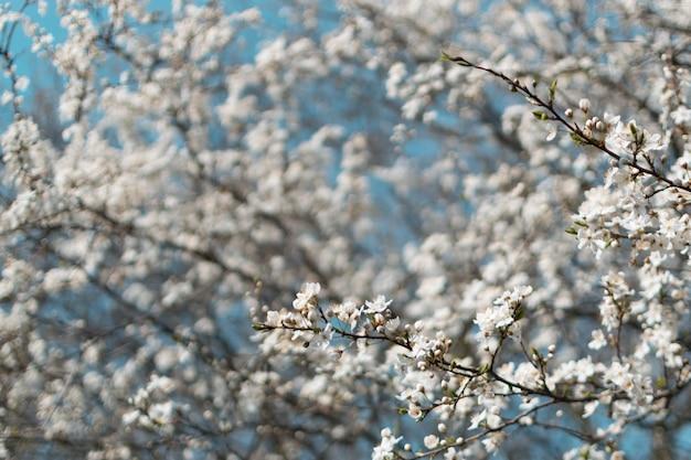 Flores blancas del cerezo en spring garden sobre fondo de cielo azul Foto Premium