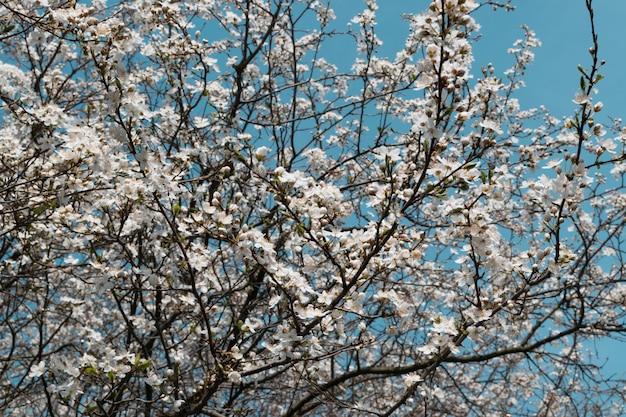 Flores blancas del cerezo en spring garden sobre fondo de cielo Foto Premium