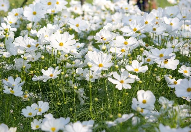 Flores blancas del cosmos | Descargar Fotos gratis