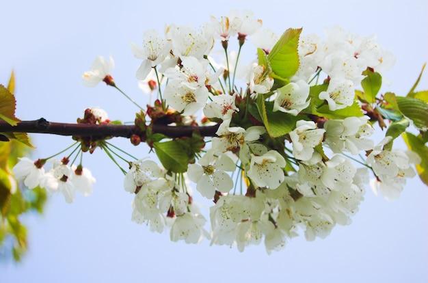 Flores blancas en una rama de árbol | Descargar Fotos gratis