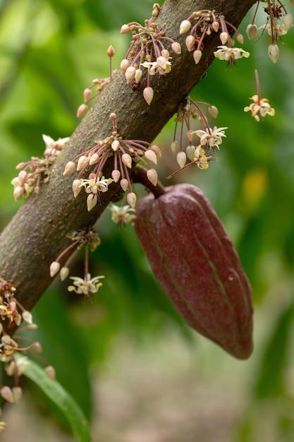 Flores de cacao, fruta de cacao, vaina de cacao en el árbol. | Foto ...