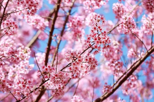 Flores de cerezo del himalaya silvestre en la temporada de primavera (prunus cerasoides) Foto Premium