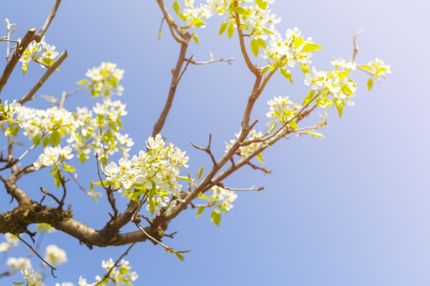 Flores de cerezo sobre fondo de naturaleza borrosa Foto Premium