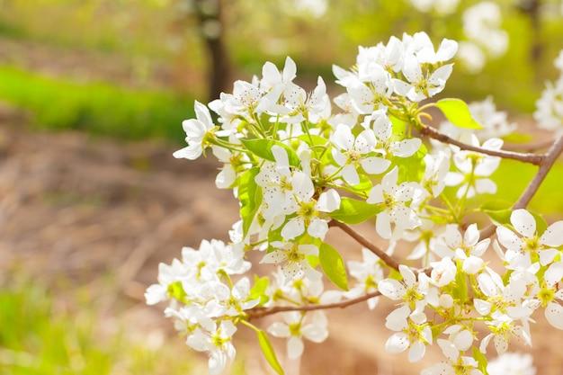 Flores de cerezo sobre naturaleza borrosa Foto Premium