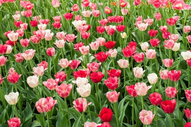 Flores coloridas de los tulipanes que florecen en un jardín Foto Premium