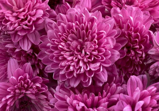 Flores de crisantemo rosa Foto Premium
