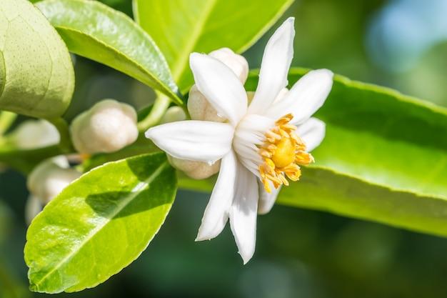 Resultado de imagen para floresde limon