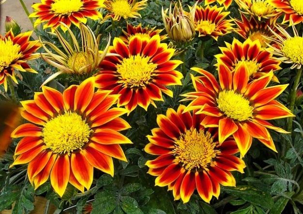 Flores de plantas de jard n gazanias descargar fotos gratis for Estrellitas de jardin planta