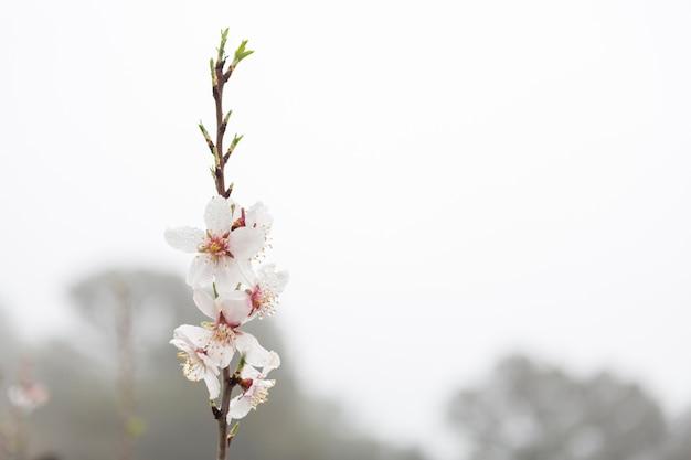 Flores Del Almendro Bonitas Con Fondo Borroso
