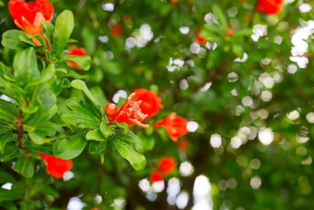 Flores de granada y hojas verdes en el fondo de la naturaleza Foto Premium
