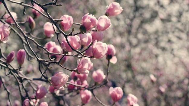 Flores hermosas del árbol de magnolia en primavera. Foto Premium
