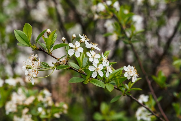 Flores hermosas del primer del cerasus del árbol. Foto Premium