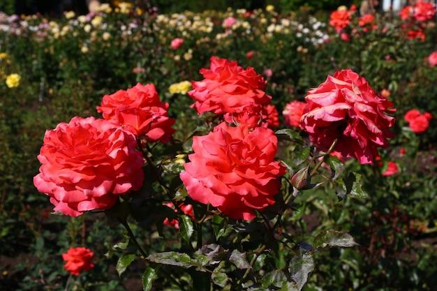 Flores en el jardín de rotorua, nueva zelanda Foto Premium