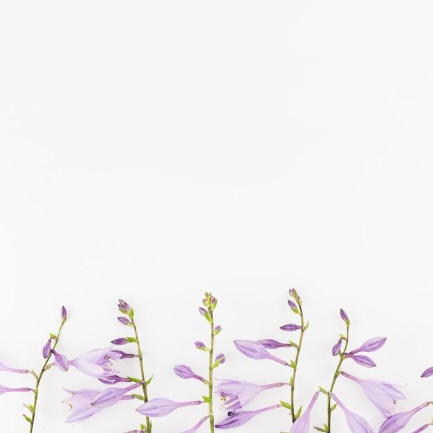 Flores de lavanda en fondo blanco en blanco Foto gratis