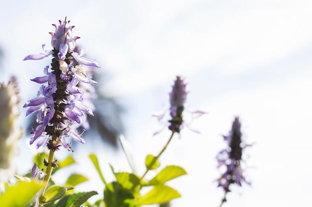 Flores de lavanda con fondo borroso Foto gratis