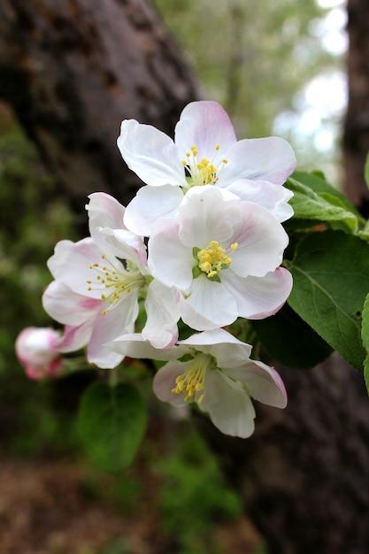 Flores de manzanos en la primavera en el jardín. Foto Premium