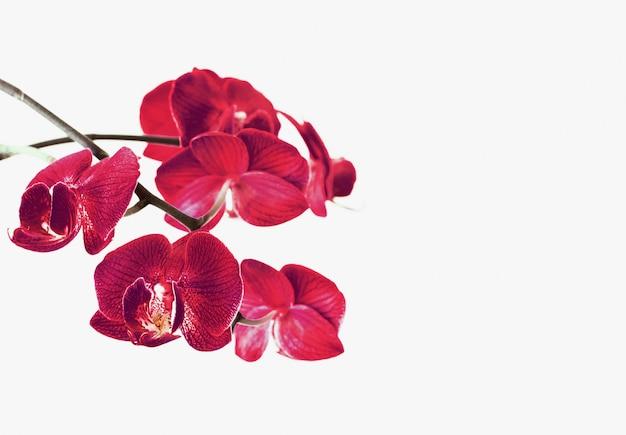 Flores de orquídeas aisladas en blanco Foto Premium