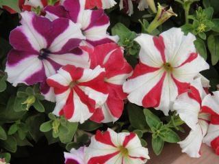 Flores Rojas Y Blancas Descargar Fotos Gratis