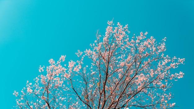 Flores rosadas florecientes de los cerasoides del prunus en el árbol con el cielo azul. Foto Premium