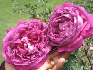 Flores Rosas Naturales Descargar Fotos Gratis