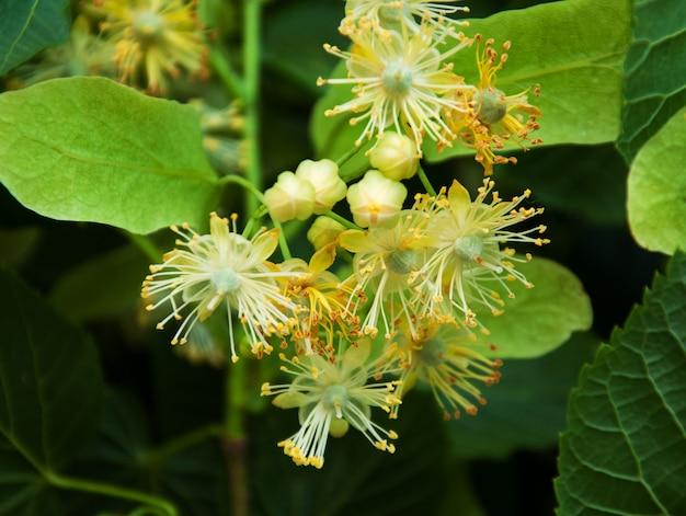 Flores de tilo frescas en el árbol - fondo de naturaleza | Foto Premium
