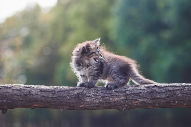 Fluffy kitten en el bosque va en un tronco de árbol Foto Premium