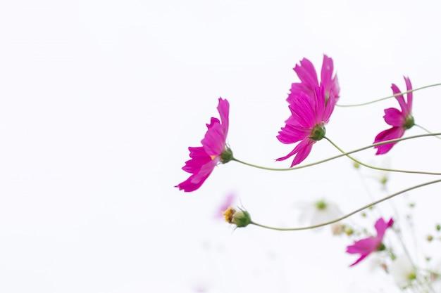 Foco selectivo suave hermoso del campo de flores rosado y blanco del cosmos con el espacio de la copia Foto Premium