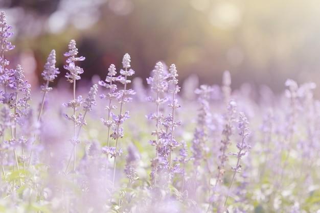 Foco suave un campo de lavanda violeta. los colores en colores pastel y la falta de definición color de fondo lavan las flores púrpuras de la lavanda. Foto Premium