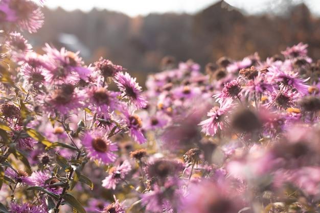 Fondo abstracto borroso con flores rosadas en el cielo azul con sol Foto Premium