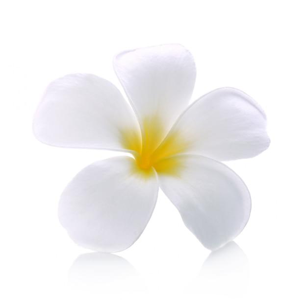 Fondo blanco aislado flor del frangipani Foto Premium