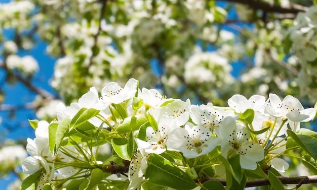 Fondo floreciente de manzano Foto Premium