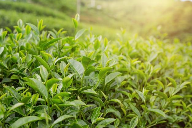 Fondo de hoja de té verde en plantaciones de té. Foto gratis