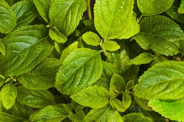 Fondo de hojas de menta Foto gratis