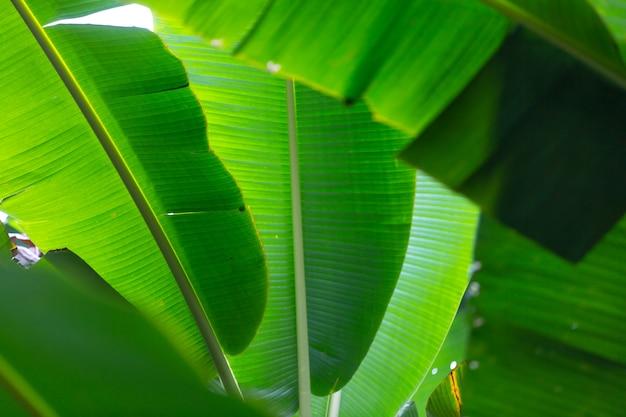 Fondo de hojas de plátano verde, bosque. Foto gratis