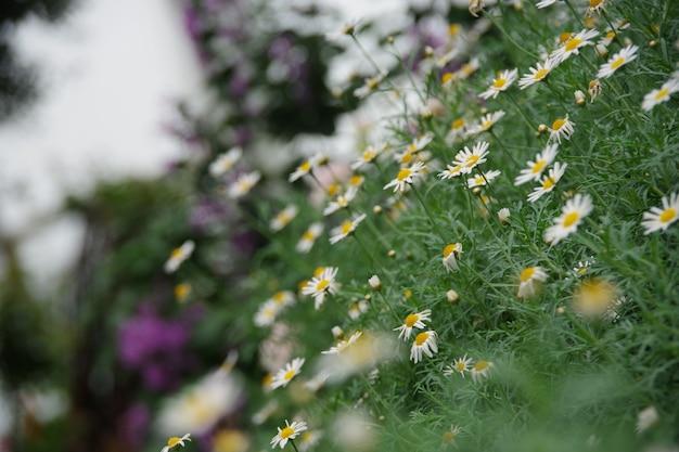 Fondo natural del campo de flor de la margarita enfoque borroso y suave Foto Premium