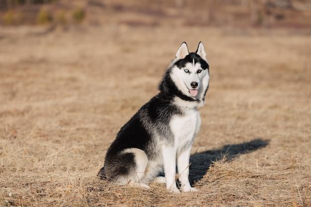 Fornido. el perro camina en la naturaleza. paisaje de otoño césped seco amarillo. Foto Premium
