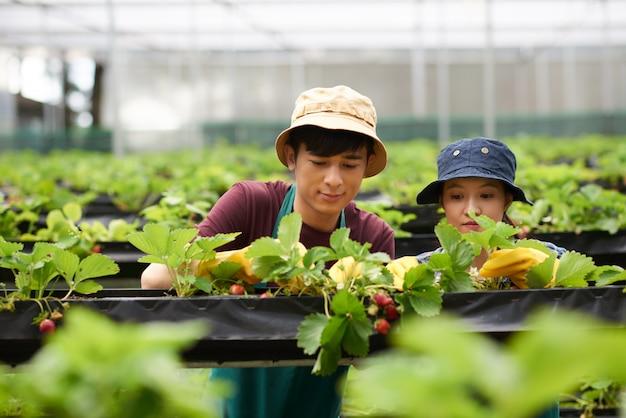 Foto de dos jardineros cosechando fresas en un invernadero Foto gratis