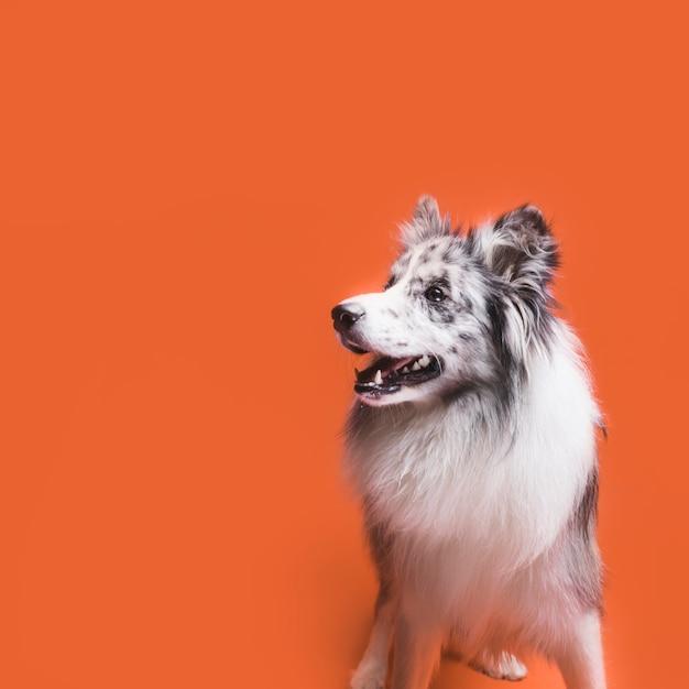 Foto de estudio de lindo perro border collie Foto gratis