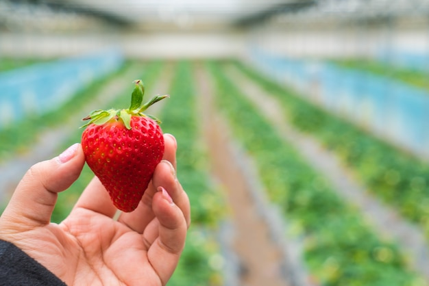 Fresa fresca escogida a mano Foto gratis