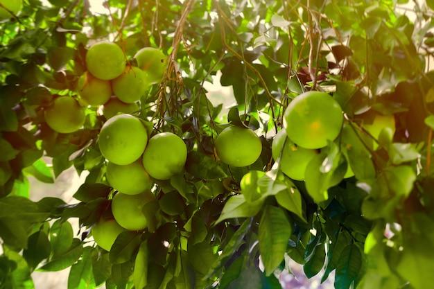 Fruta inmadura del pomelo en ramas de árbol en luz del sol de la puesta del sol. Foto Premium