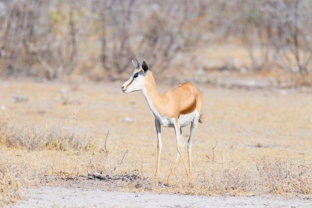 Gacela pastando en el monte. wildlife safari en el parque nacional de etosha, famoso destino turístico en namibia, áfrica. Foto Premium