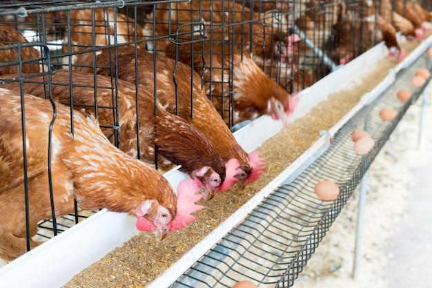 Gallina, huevos de gallina y pollos comiendo comida en la granja. | Foto Premium