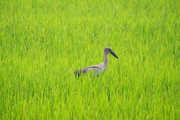 Las garzas encuentran comida en medio de arrozales. Foto Premium