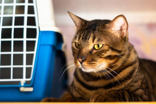 Gato de bengala yace cerca de la jaula para transportar animales Foto Premium