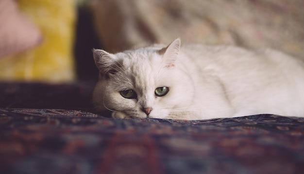 Gato blanco está descansando en la cama en el dormitorio. mirada de gato Foto Premium