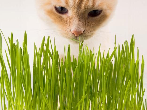 Gato está comiendo hierba verde fresca. hierba de gato, hierba de mascota. tratamiento natural de bolas de pelo. Foto Premium
