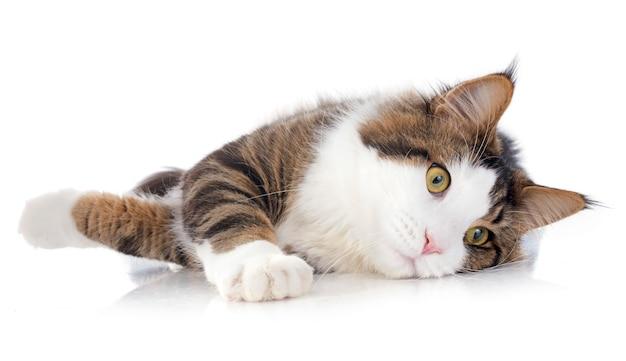 Gato coon de maine Foto Premium