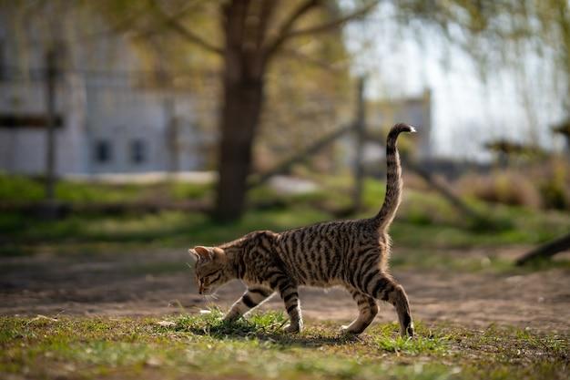 Gato gris domesticado deambulando por el patio en un hermoso día Foto gratis