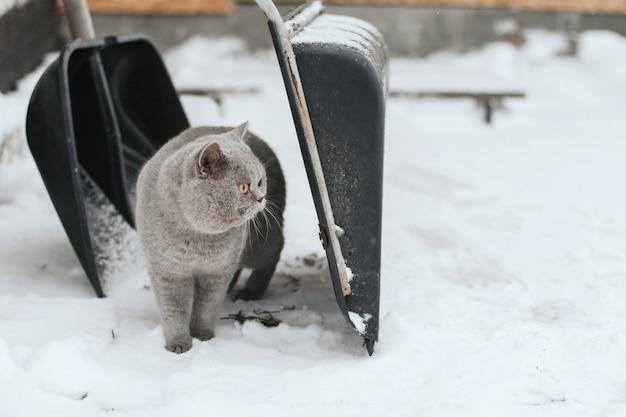 Un gato gris se encuentra en la nieve entre dos palas para limpiar la nieve. Foto Premium